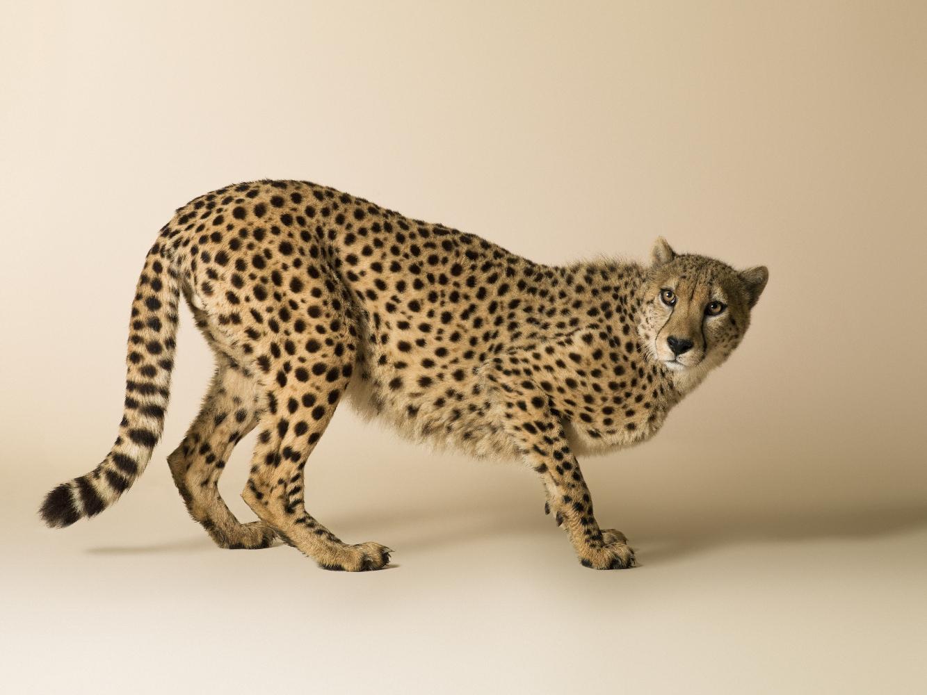 Dominic Marley Cheetah portrait