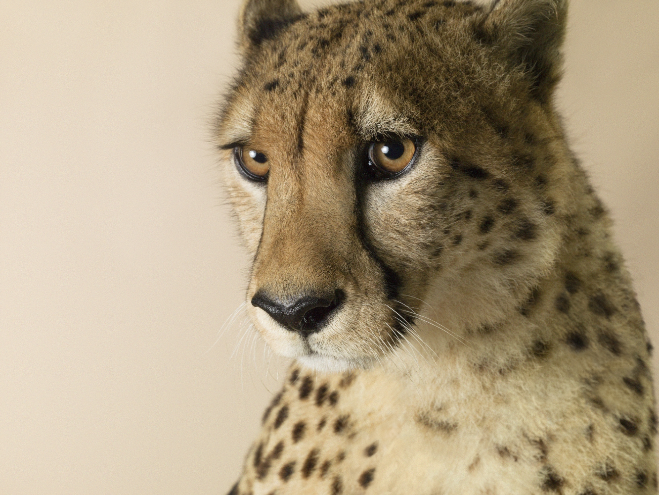 Dominic Marley Cheetah portrait